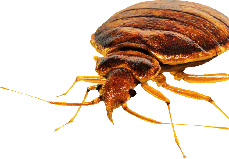 img bedbug - Bed Bug Bite Claim and Lawsuit Attorneys