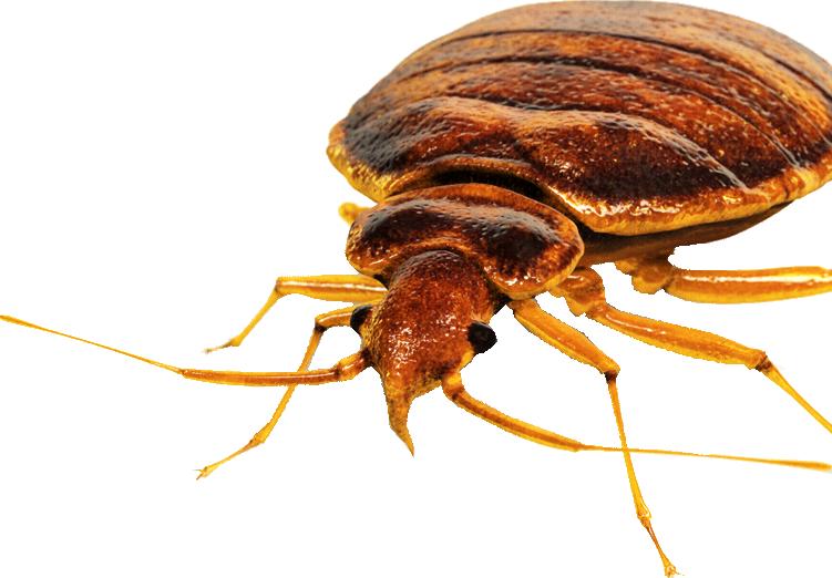 img bedbug - Bed Bug Bite Claim and Lawsuit Attorneys