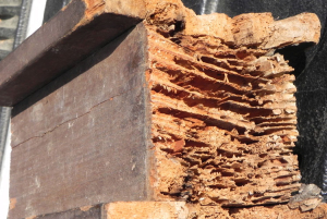 termite damage 1 - Can Pest Companies Be Held Financially Responsible if They Fail to Detect Termites in My Home?